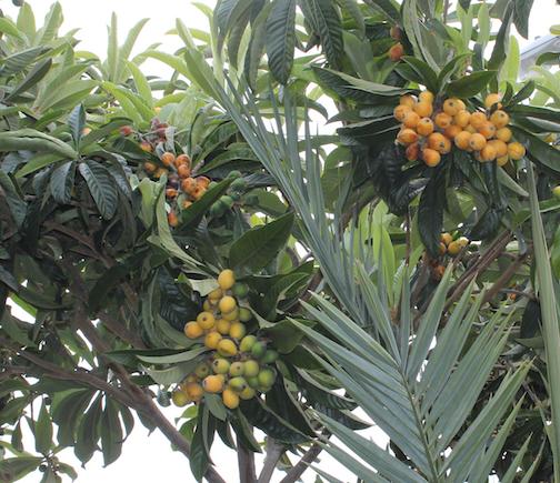 Loquat Hedge  Fruit png