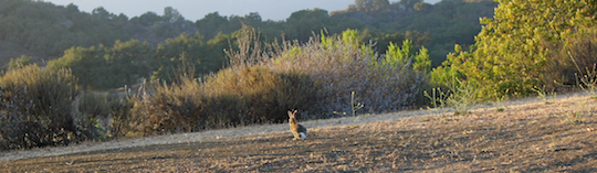 cottontail running