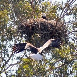 Eagles in Nest png